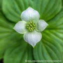 Canadian Bunchberry