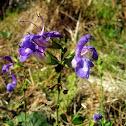 Salvia forsskaolei