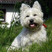 West Highland Terriers