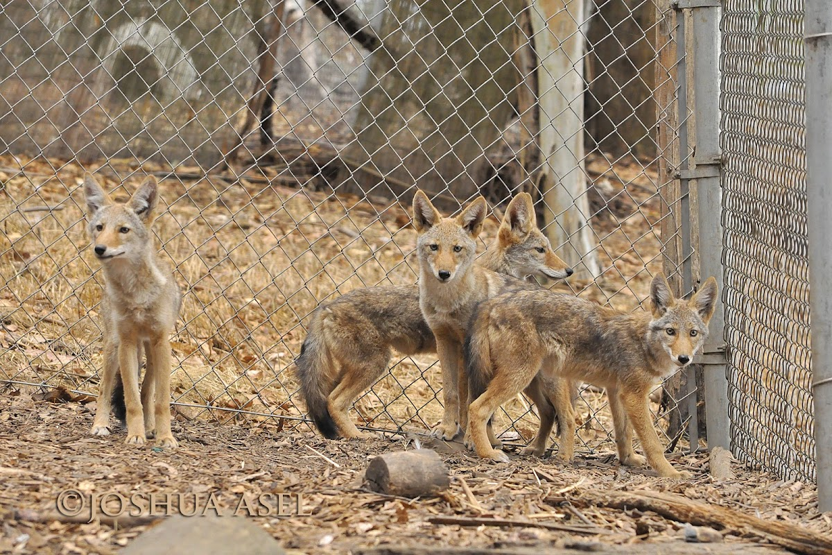 4 Coyote Pups (update)