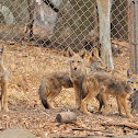 4 Coyote Pups (update)