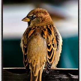 A small bird on the chair by Maritere Izaguirre - Animals Birds ( animals, park, birds,  )