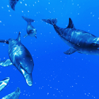 Shoal of Dolphin icon