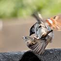 Common House Sparrow