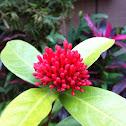 紅仙丹. Jungle geranium, Jungle Flame,