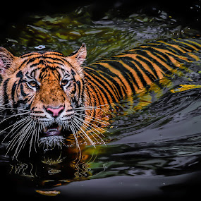 by Ricky Agvirty - Animals Lions, Tigers & Big Cats