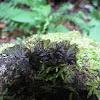 Hornwort moss