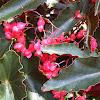 Begonia。秋海棠