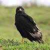 Hawk, Sparrow Hawk