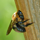 Eastern carpenter bee (female)