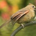 Northern cardinal, feeding offspring