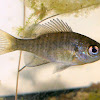 Green Sun Fish