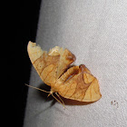 Grapevine Looper (Eulithis sp.)