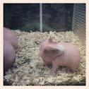 hairless guinea pig