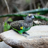 Brown Parrot - Meyer's Parrot