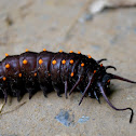Pipevine Swallowtail (larvae)