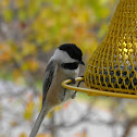 Black Capped Chick-a-dee