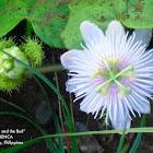 (Passion Flower)