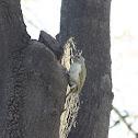 Grey-headed Woodpecker (female)
