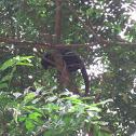 Brown howler monkey
