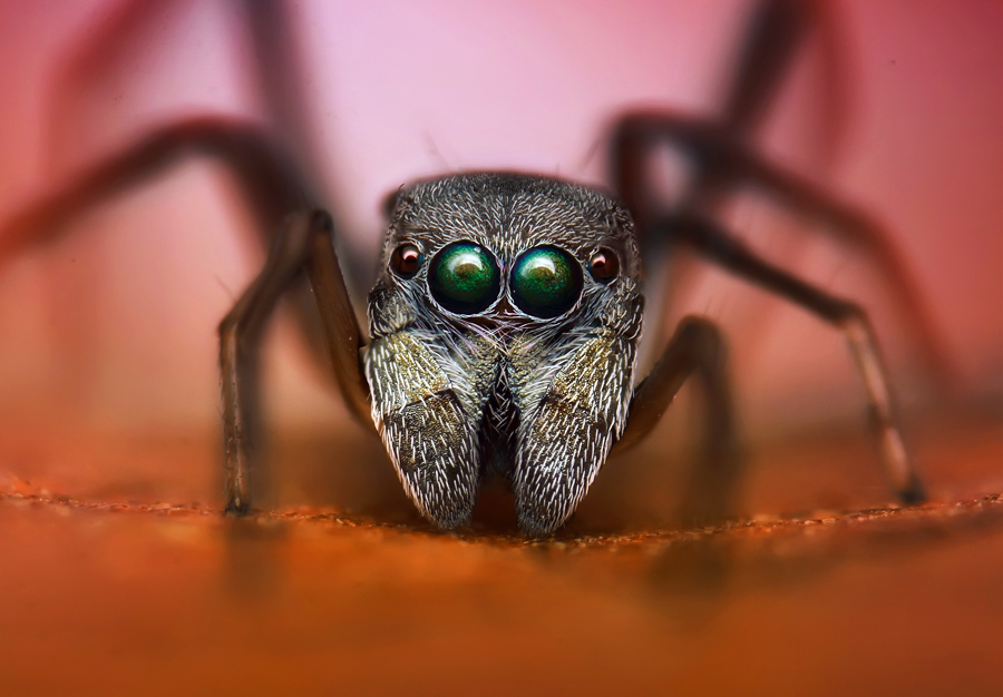 ant spider by Dhimas Prastowo - Animals Insects & Spiders ( #antspider, #indonesia, #closeup, #bugs, #spider, #macro )