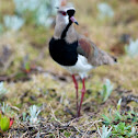 Southern Lapwing and eggs