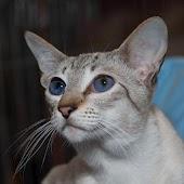 Siamese Cats Live Wallpaper