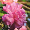 Old Blush Rose Climber