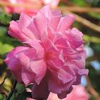Old Blush Rose Climber