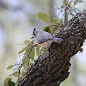 Black-crested Titmouse or Mexican Titmouse