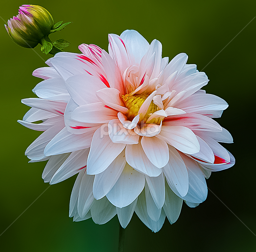 by Anshul Tiwari - Flowers Single Flower (  )