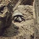 tortuga bisagra
