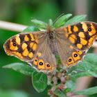 Speckled Wood; Mariposa de los Muros
