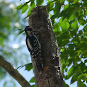 Downy Woodpecker (chicks)