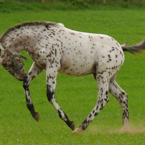 Scotia Equalizer  by Marty Paterson - Animals Horses ( scotland, pony, horse, appaloosa )