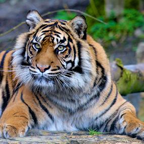 Stately Sumatran Tiger by John Dutton - Animals Lions, Tigers & Big Cats ( cat, tiger, rare, female, endangered, sumatran tiger, king )