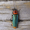 Cantharid beetle