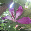 Butterfly tree, Pink butterfly tree, Purple bauhinia, Purple butterfly tree, Purple orchid tree