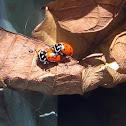 Joaninha -Convergent Lady Beetle