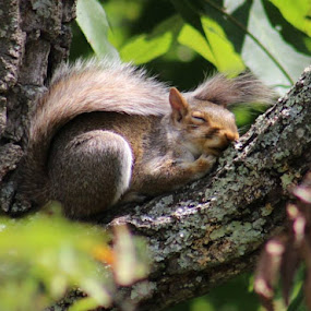 Sleepy Squirrel :) by Jennifer Weber - Uncategorized All Uncategorized (  )