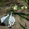 Australian Caper White