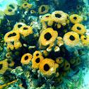Unknown Sponge