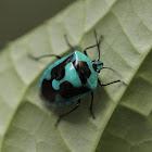 Blue Stink Bug