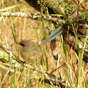 Variegated Fairy-wren (female)