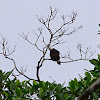 Black & White Hawk- Eagle, Aguilucho Blanquinegro