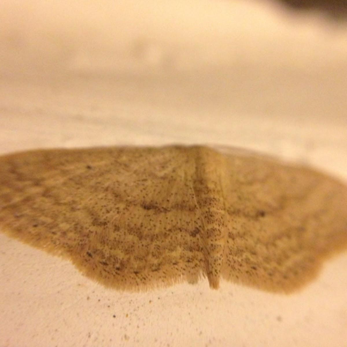 White Pale Moth