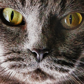 PurrrrrrL by Scott Walker - Animals - Cats Portraits ( love, cats, cat eyes, whiskers, eyes )