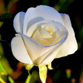 bijelo-bijelo by Jelena Puškarić - Nature Up Close Flowers - 2011-2013 (  )