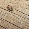 Painted Lady Beetle