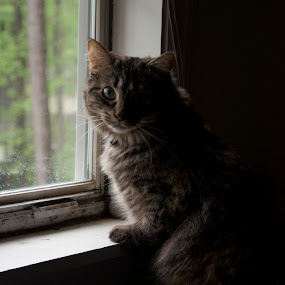 Window by Missy Roberts - Animals - Cats Portraits (  )